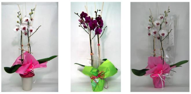 orquidea phalaenopsis de 2 baras