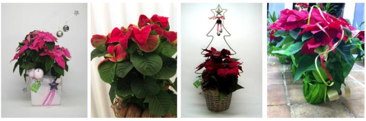 Varietats de Poinsetties (Prinsetia, Winter Rose, Artificial, vermella)