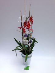 Orquidea cambria perfumada