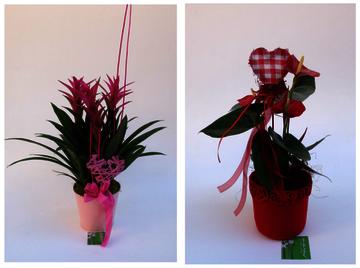 El dia del enamorats regala una planta