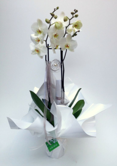 Orquidea blanca arreglada